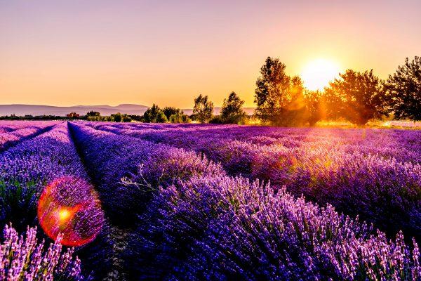 Des champs de lavande au coucher du soleil