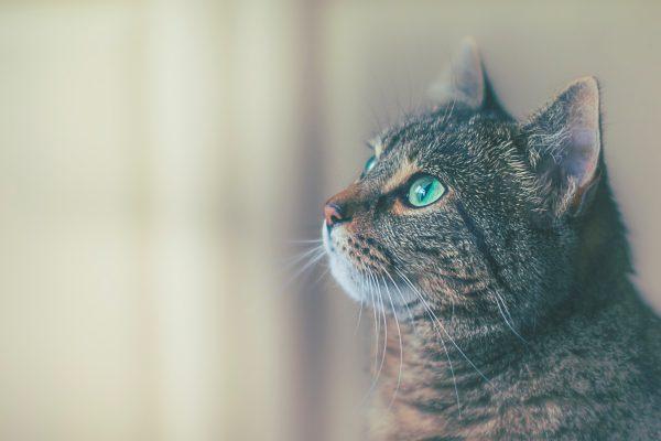 Gros plan sur la tête d'un chat tigré aux yeux verts vu de profil